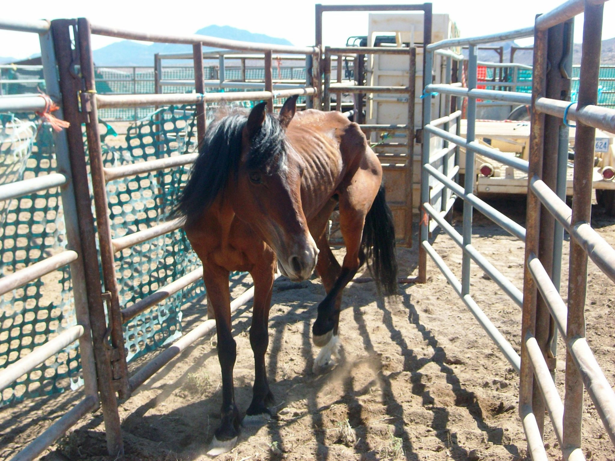 BLM conducts emergency horse gather