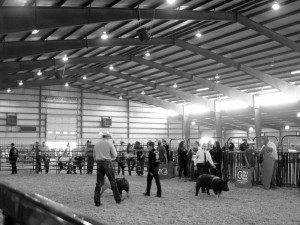 Courtesy photo Mayah Hafen worked extra hard in showing her lamb at the Southwestern Livestock Show in Cedar City.